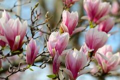 Дерево магнолии Grunged красивое в зацветать в ботаническом саде Стоковые Изображения RF