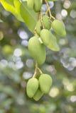 Дерево мангоа Стоковая Фотография RF