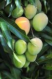 Дерево манго Стоковое Изображение RF