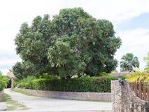 Дерево манго Стоковые Фотографии RF