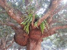 Дерево манго Стоковая Фотография RF