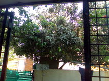 Дерево манго стоковое изображение