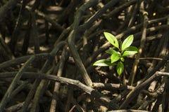 Дерево мангровы растя на толстых корнях Природа ecol мангровы Стоковая Фотография