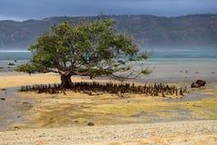Дерево мангровы с корнями на пляже Segar на Lombok, Индонезии стоковое изображение