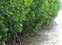 Дерево мангровы Стоковая Фотография