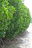 Дерево мангровы Стоковое Изображение
