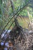 Дерево мангровы Стоковые Фото
