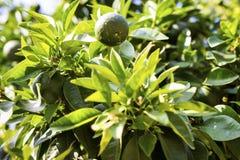 Дерево мандарина с зелеными плодоовощами Мандарины растут на ветви дерева Листья зеленого цвета дерева мандарина в тропическом ци Стоковое фото RF