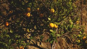 Дерево мандарина Стоковое Изображение RF