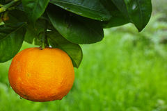 Дерево мандарина оранжевое с зрелым плодоовощ мандарина Стоковое фото RF