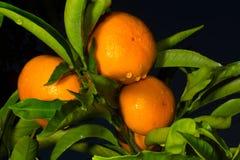 Дерево мандарина Стоковая Фотография