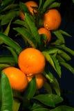 Дерево мандарина Стоковое Изображение