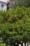 Дерево мандарина Стоковые Изображения RF
