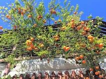 Дерево мандарина Стоковая Фотография RF