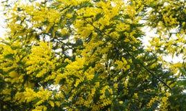 Дерево мимозы зацветает яркий желтый праздник стоковые фотографии rf