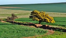 Дерево мимозы стоковое фото rf