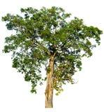 Дерево Множество листьев высокорослое Белая предпосылка Стоковое Изображение RF