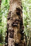 Дерево могил младенца Kambira Традиционное torajan место захоронений для ребенка в Rantepao, Tana Toraja, Сулавеси, Индонезии Стоковые Изображения