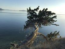 Дерево можжевельника стоковое изображение rf