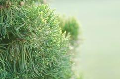Дерево можжевельника в утре зимы туманном (мягкая предпосылка фокуса) Стоковое фото RF