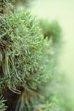 Дерево можжевельника в утре зимы туманном (мягкая предпосылка фокуса) Стоковые Фото