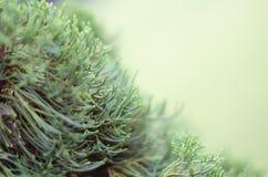 Дерево можжевельника в утре зимы туманном (мягкая предпосылка фокуса) Стоковая Фотография
