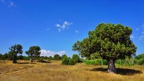 Дерево можжевельника Стоковые Фотографии RF