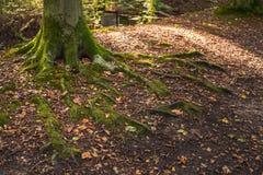 дерево Над-земли укореняет с змейчатыми формами и перерастанный с стоковые фотографии rf