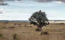 Дерево на африканской саванне Стоковые Изображения RF