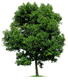 Дерево на белизне Стоковые Изображения RF