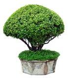 Дерево на белой предпосылке стоковое фото rf