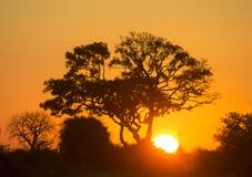 Дерево на заходе солнца в Ботсване Перепад Okavango вышесказанного стоковое фото