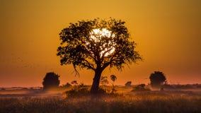 Дерево на заходе солнца в Ботсване Перепад Okavango вышесказанного стоковая фотография