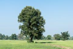 Дерево на зеленой траве Стоковое фото RF