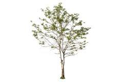Дерево на изолированный стоковое изображение rf