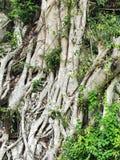 Дерево на камне Стоковое Изображение RF