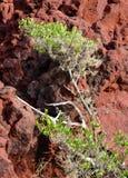 Дерево на красном скалистом горном склоне Стоковое Изображение RF