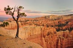 Дерево в каньоне США Bryce Стоковая Фотография RF