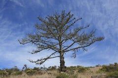 Дерево на острове Калифорнии Анджела Стоковые Изображения RF