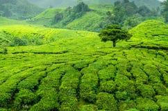 Дерево на плантации чая Стоковые Изображения