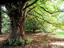 Дерево на садах Kew Стоковое Изображение