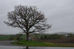 Дерево на слабых 7 холмах Biei Hokaido Японии Стоковые Фото