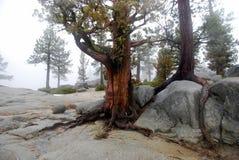 Дерево на утесе Стоковое фото RF