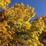 Дерево неба падения желтое Стоковые Изображения
