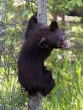 Дерево новичка медведя взбираясь Стоковая Фотография