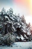 Дерево Нового Года в ландшафте зимы леса зимы красивом с снегом покрыло деревья Валы покрытые с hoarfrost и снежком Beautif Стоковые Фотографии RF