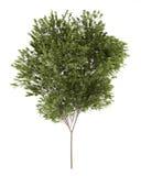 Дерево общего бука на белизне иллюстрация штока