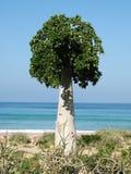 Дерево огурца, Soqotra стоковые фотографии rf