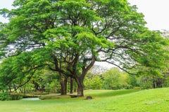 Дерево дождя в парке на солнечный день Стоковая Фотография