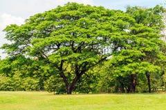 Дерево дождя в парке Стоковая Фотография RF